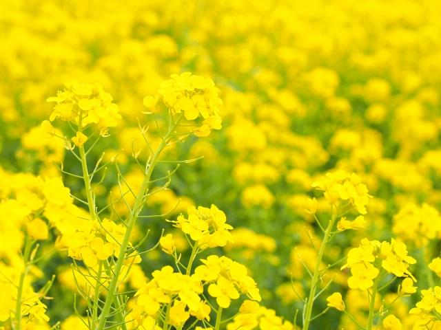 菜の花 畑 関西